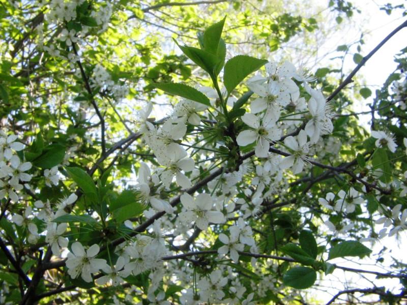 Цветение Русской вишни — 28 апреля 2012 11:33, Воронежская область