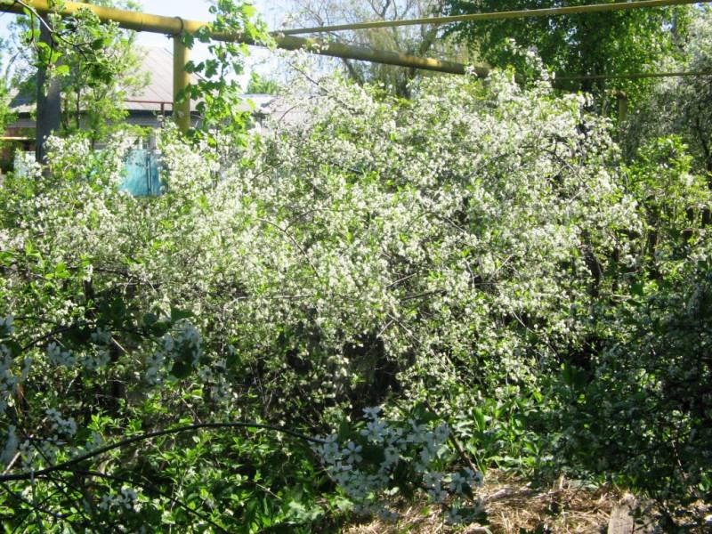 Вишня Шпанка, или Шпанская цветёт в глубине палисадника — 28 апреля 2012 11:35, Воронежская область