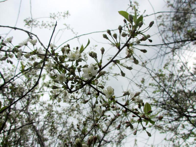 Вишня цветёт — 6 мая 2016 14:13, Юг Подмосковья