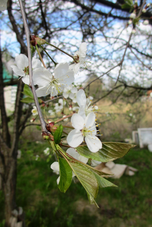 Вишня цветёт — 10 мая 2015 16:53, Юг Подмосковья