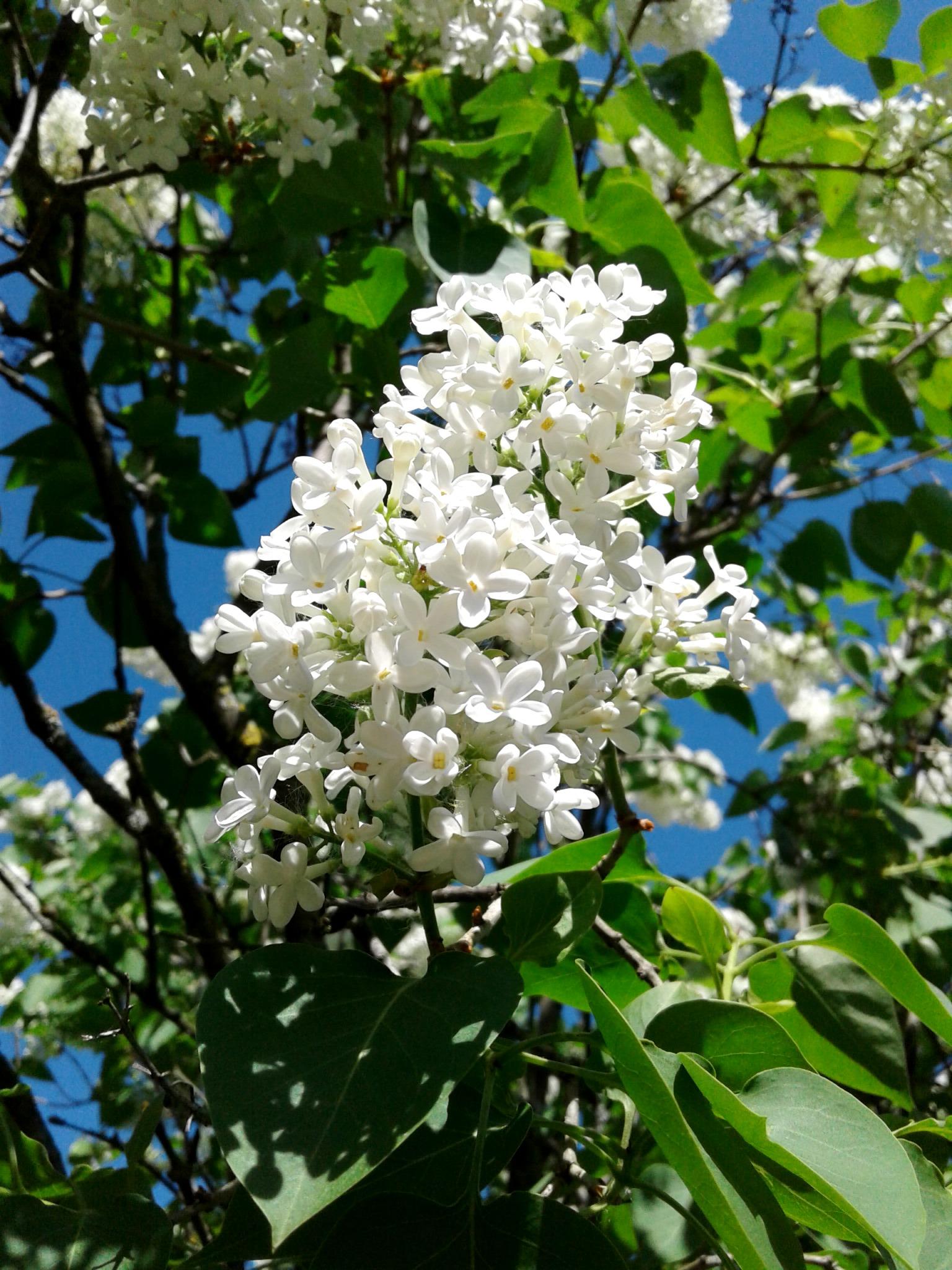 6.  Сирень обыкновенная белая — 23 мая, в нашем СНТ у соседей