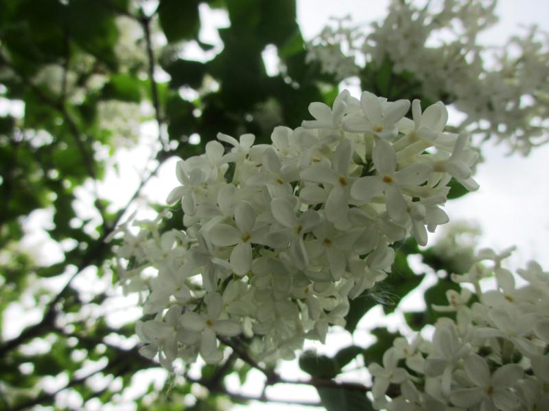 8.  Та же белая сирень — 24 мая, в палисаднике, Юг Подмосковья