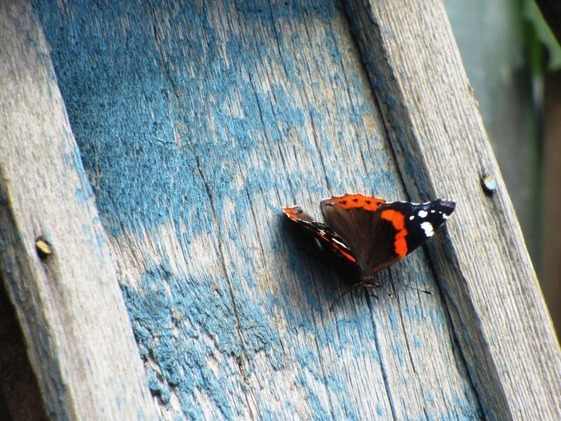 Бабочка Адмирал, юг Подмосковья 24 июня 11:34