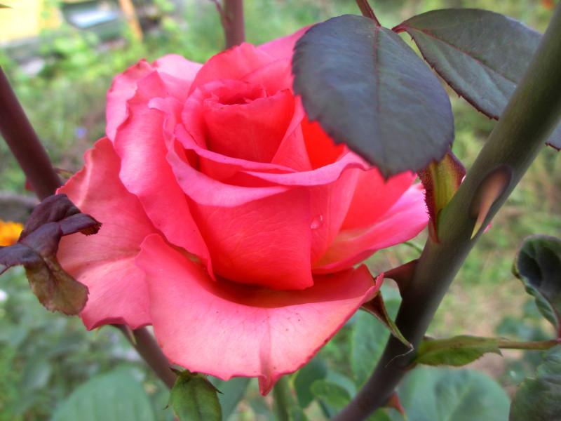 Роза парковая, юг Подмосковья 24 июня 11:34