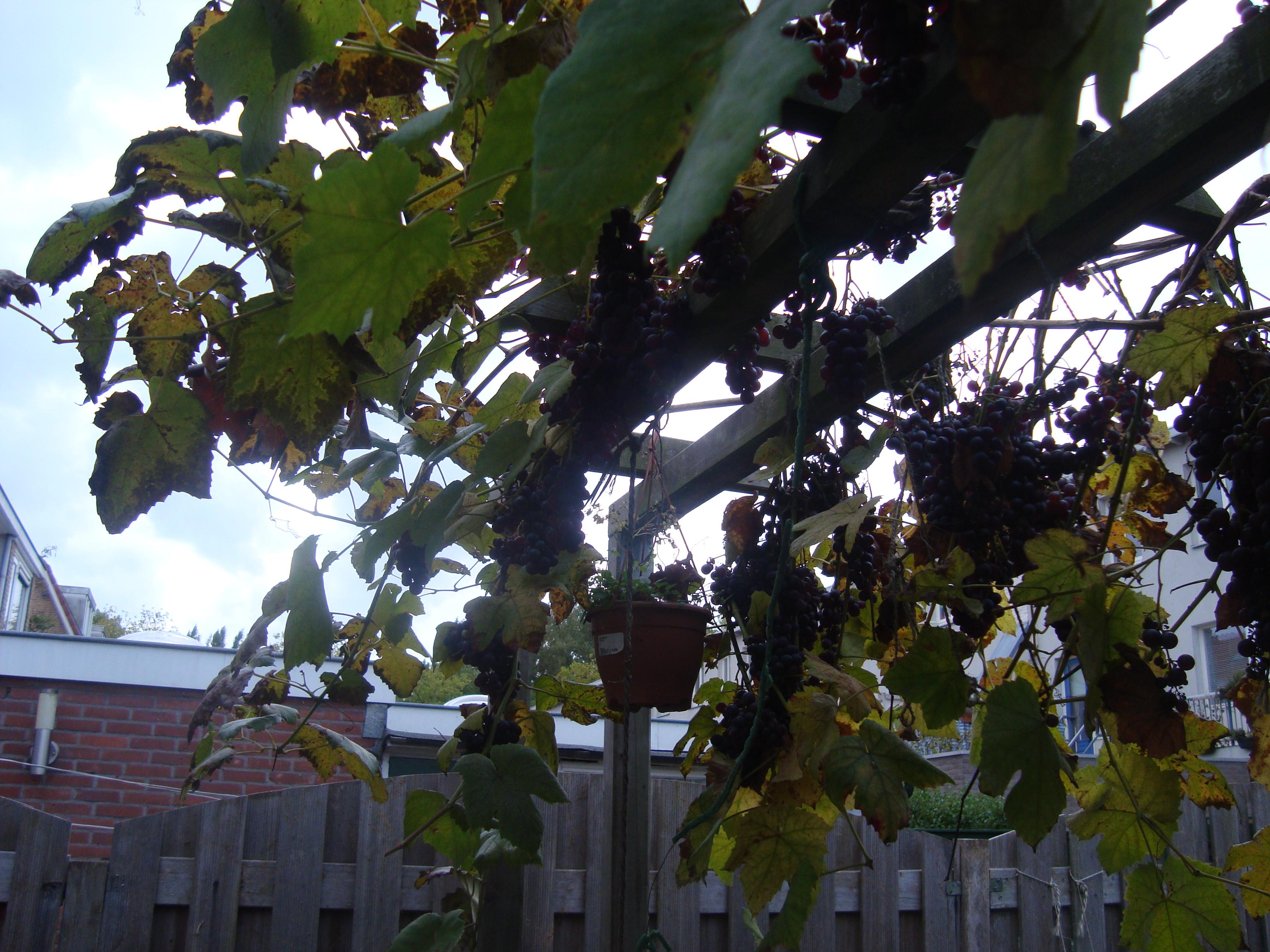 В этом году винограда много но какой