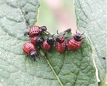 220px-Potato_beetle_larvae