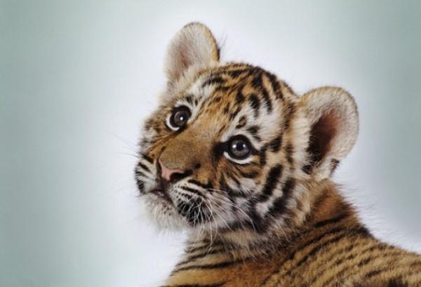 Спасти амурского тигра x_6869bbc6