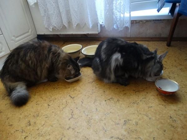 Два кота едят1