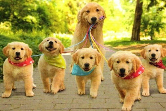 Labrador walking pups