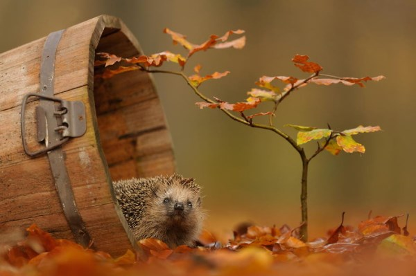 Hedgehog in barrel (600 x 399)
