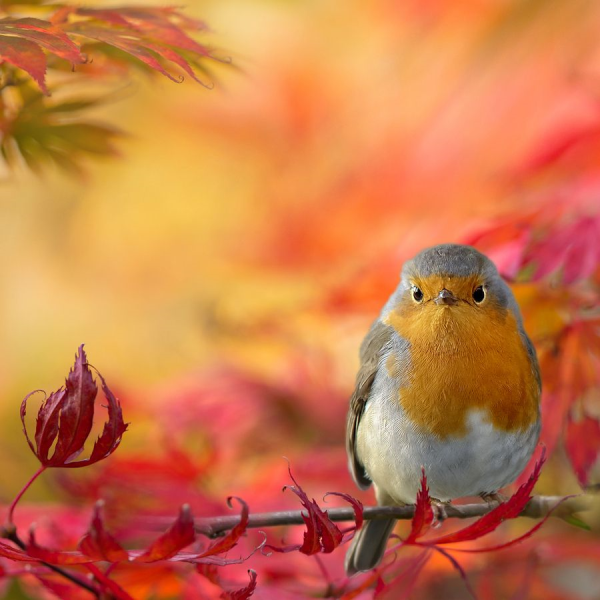 Autumn Robin