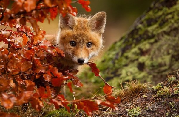 Foxcub in autumn leaves