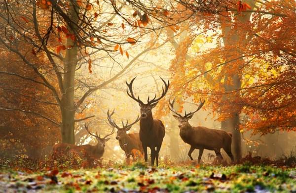 Autumn Stags
