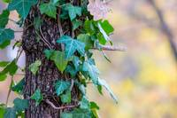 ivy_log_autumn_bark_climber_creeper_tree_fouling-1026062ewr