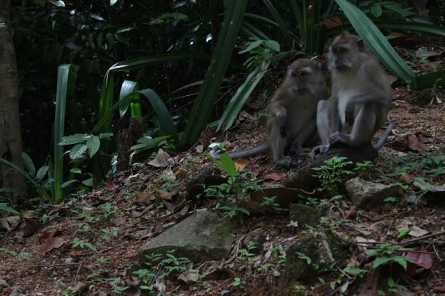 обезьяны острова Лангкави