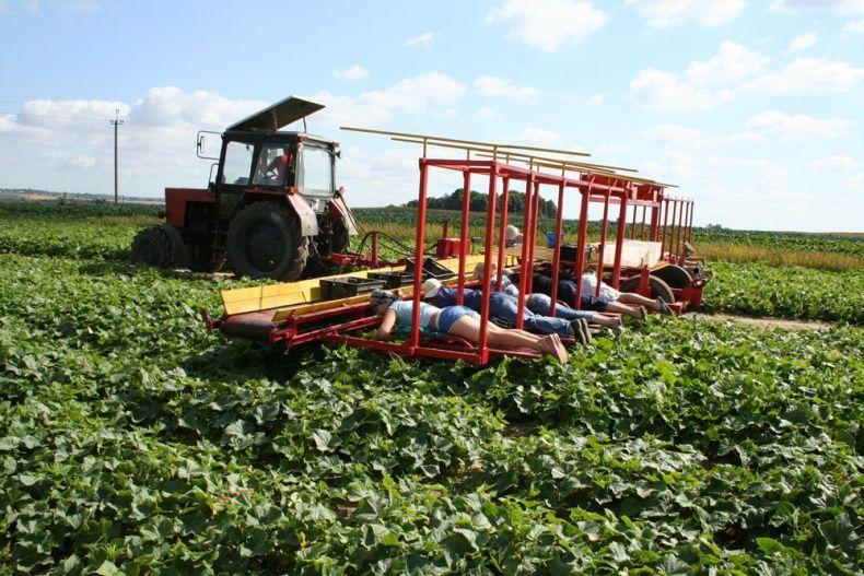cucumbersharvest08
