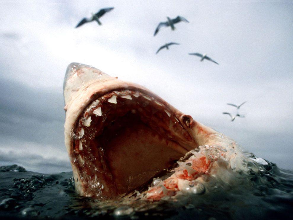 Фото самые большие белые акулы