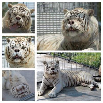заводчики пытались воссоздать идеальный белый тигр - большая морда, голубые глаза, белые меха - через опираясь на ограниченном бассейн в плен белых тигров. Результат - очень высокая скорость деформации
