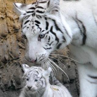 белая мама с тигренком
