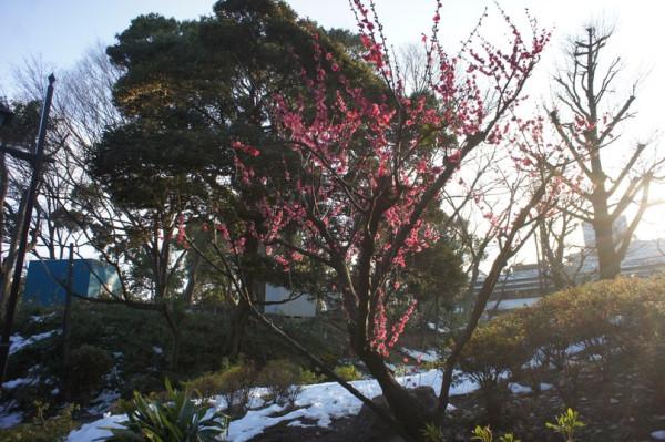 Слива зацветает в Японии