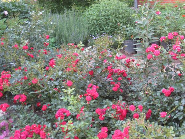 Розы ландшафтные. дача. Июль