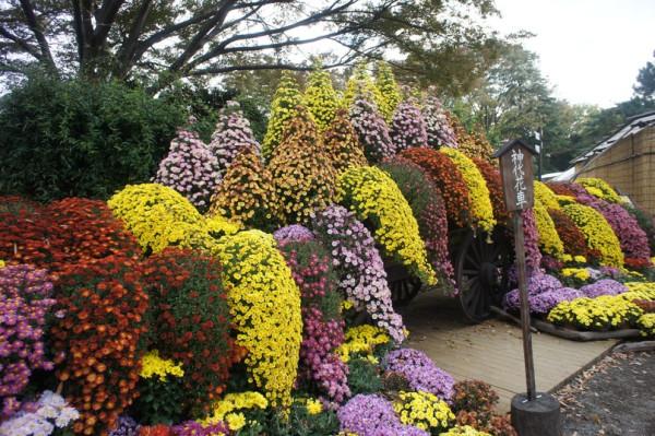 Хризантемы2