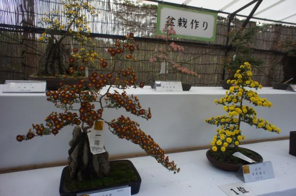 Хризантемы3