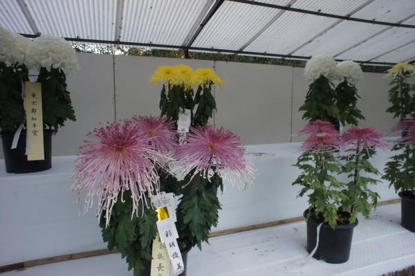 Хризантемы4