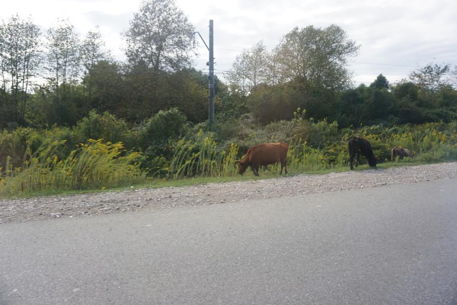 пасторальный пейзаж с коровками