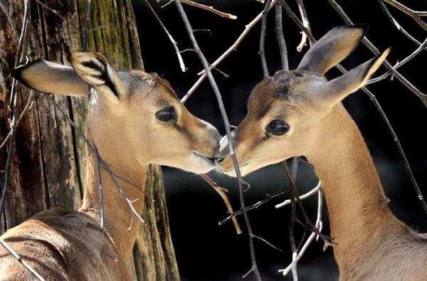 поцелуй оленей