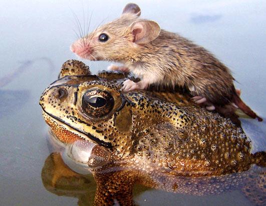 мышка и лягушка