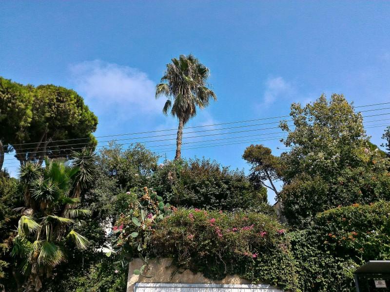 В Израиле сезон съедобных кактусов