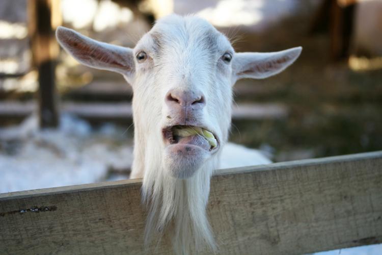 Прикольные картинки с надписями коза, открытка