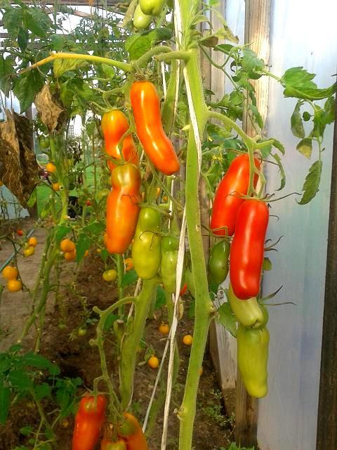 помидоры женское счастье фото больших сегментов