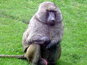 alfa-monkey