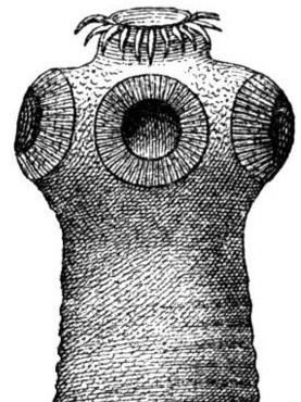 800px-Kopf_bewaffneter_Bandwurm-drawing