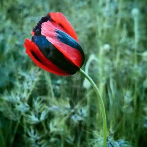 тюльпан Крыма
