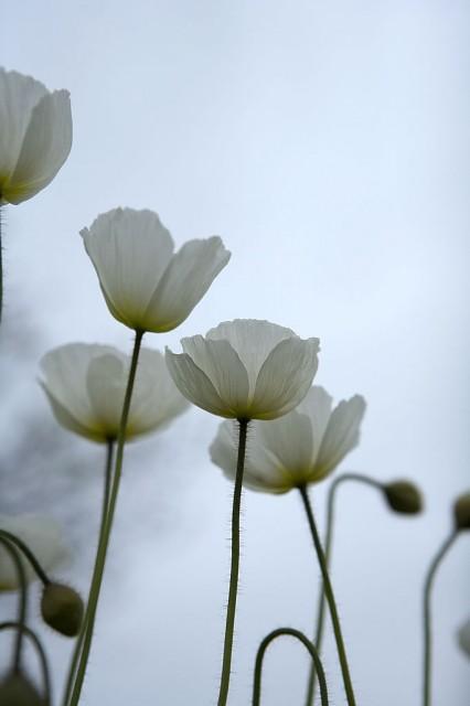 poppy by natapun.ua
