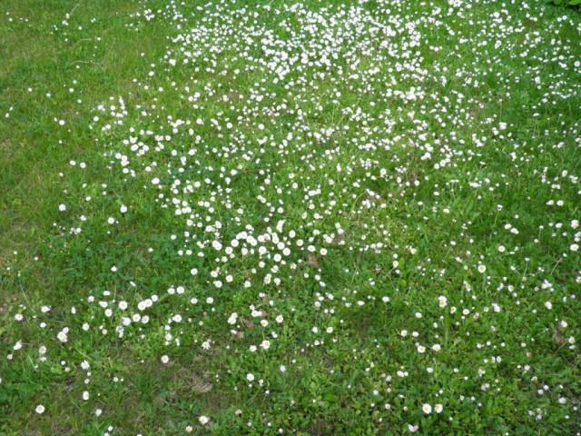 Glade of white daisies
