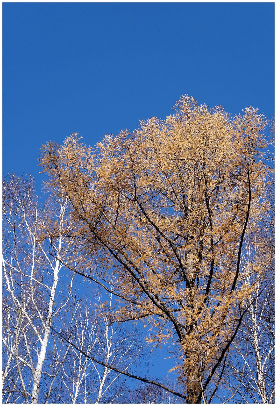 люблю лиственницы осенью