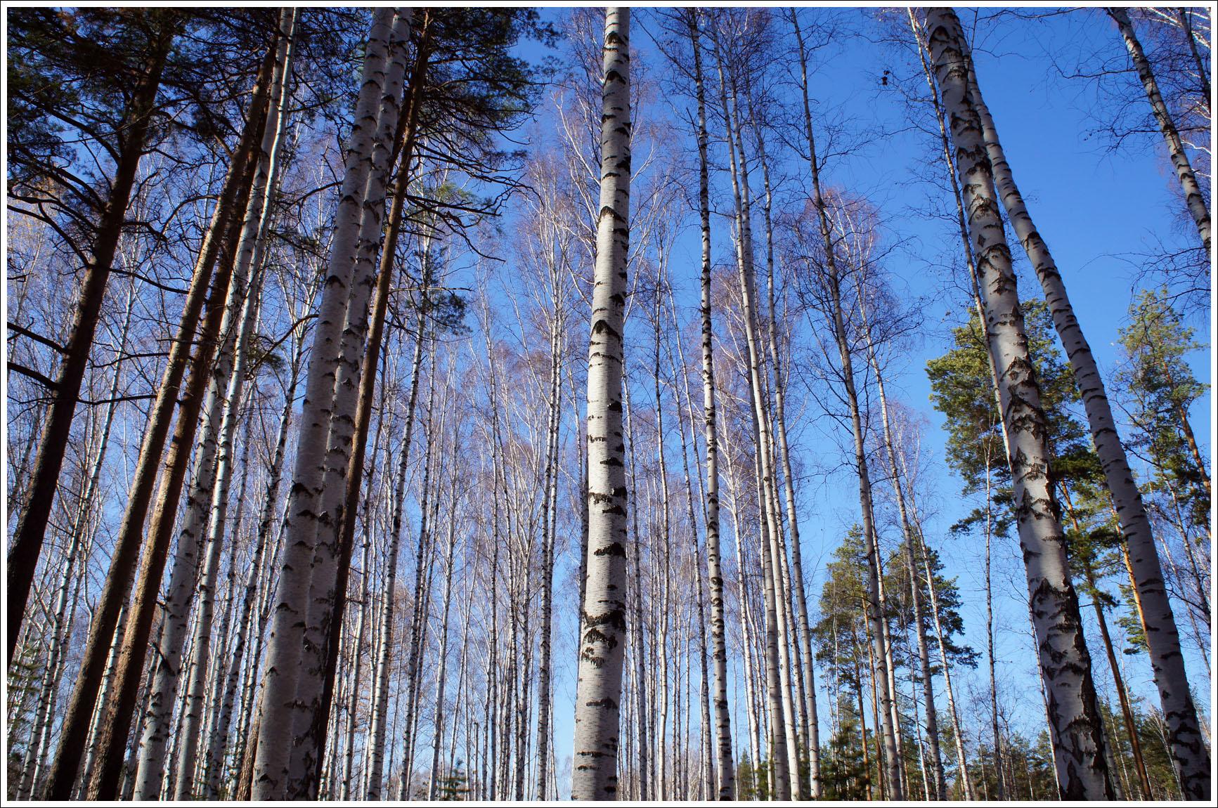 с берез слетел золотой наряд и лес стоит прозрачный