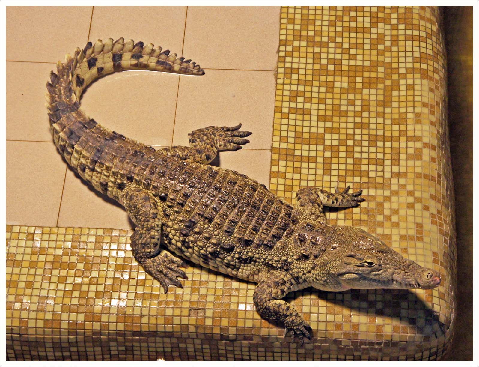 крокодил статист