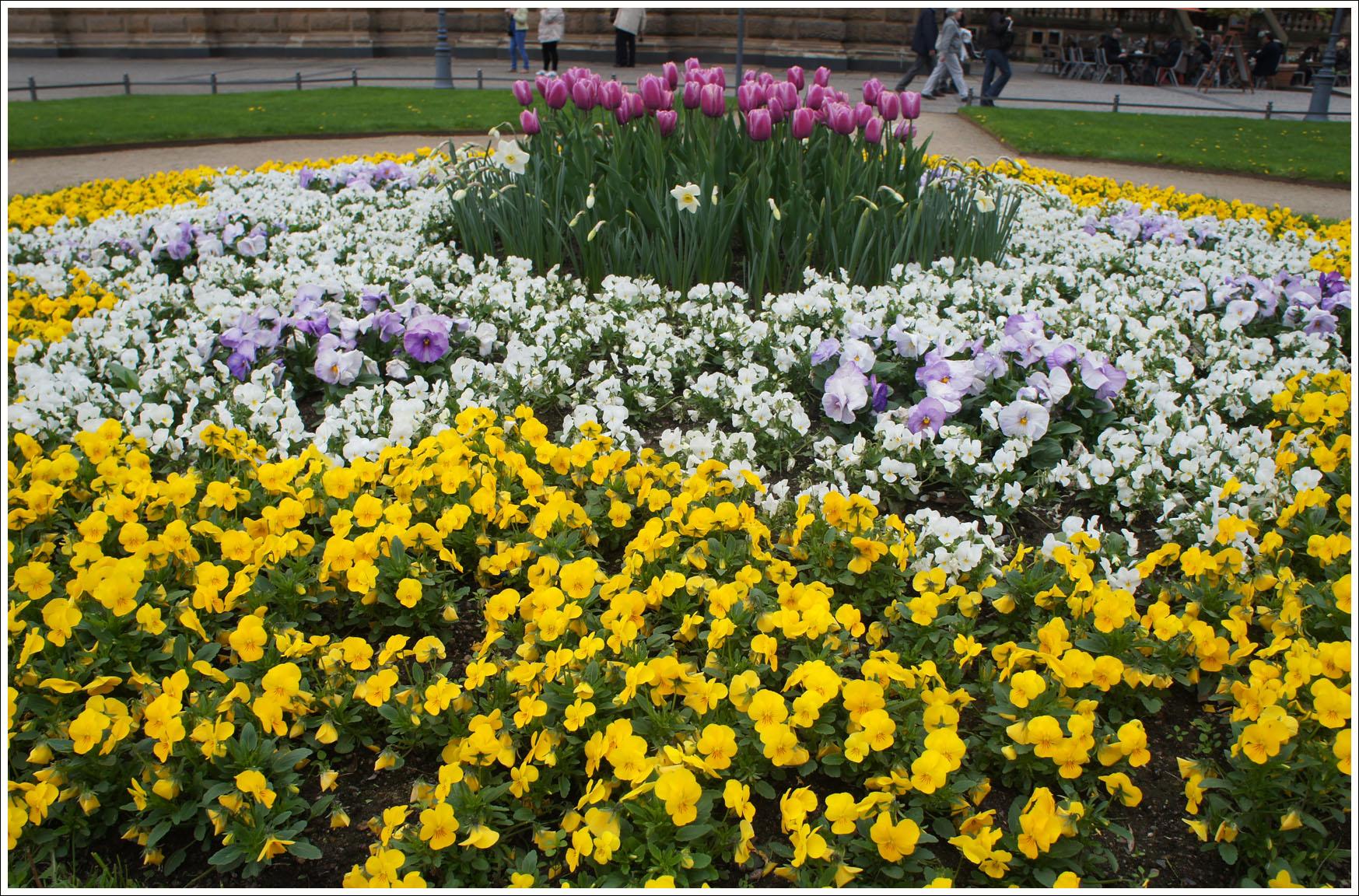 цветы дрездена