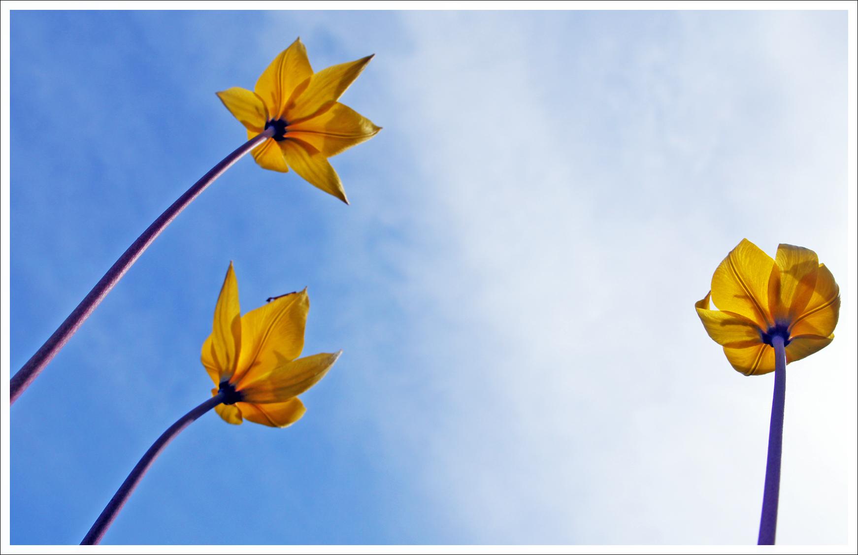 башкирские тюльпаны
