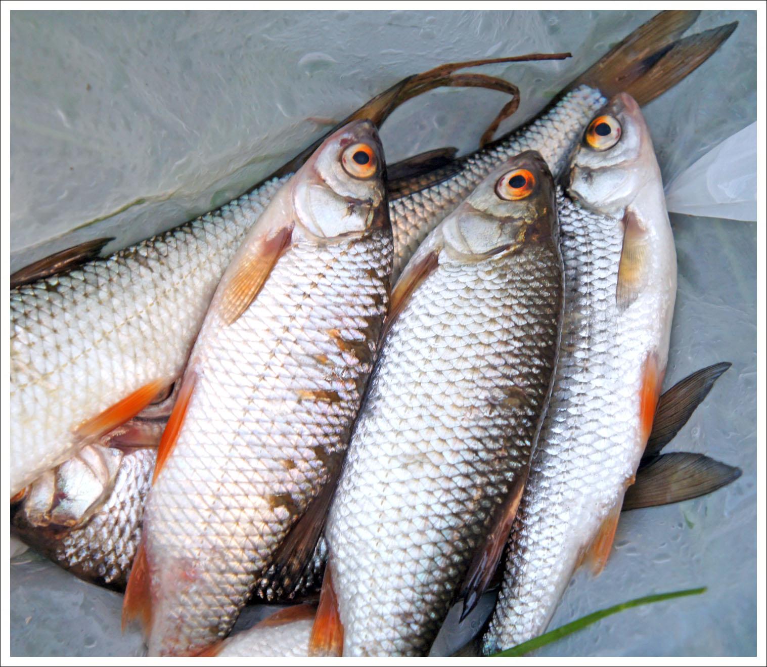 два десятка рыбаков наловили чебаков