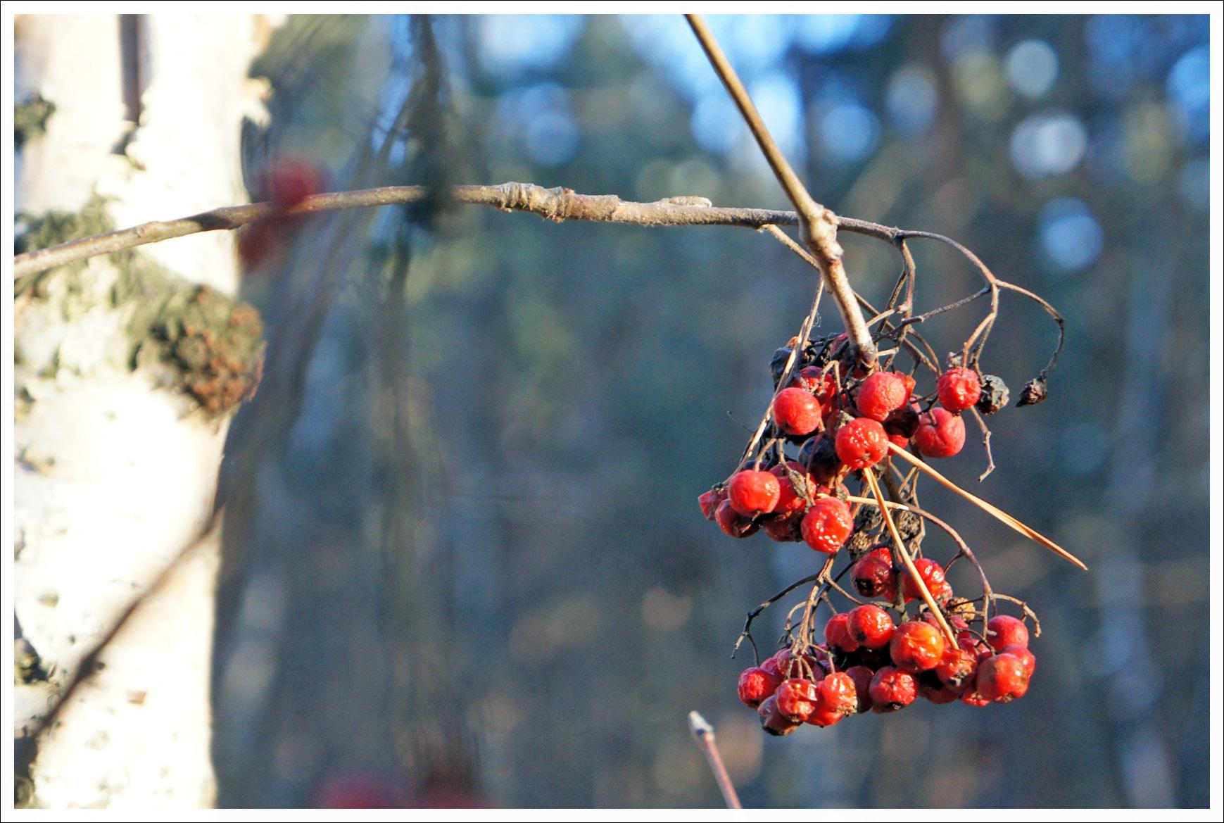 ягоды берёзовые