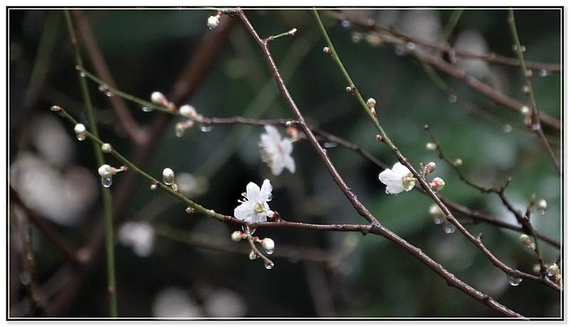 февраль алыча.JPG