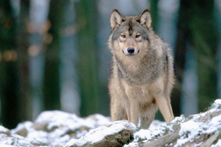 Волки (4).jpg