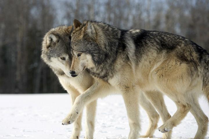Волки (5).jpg