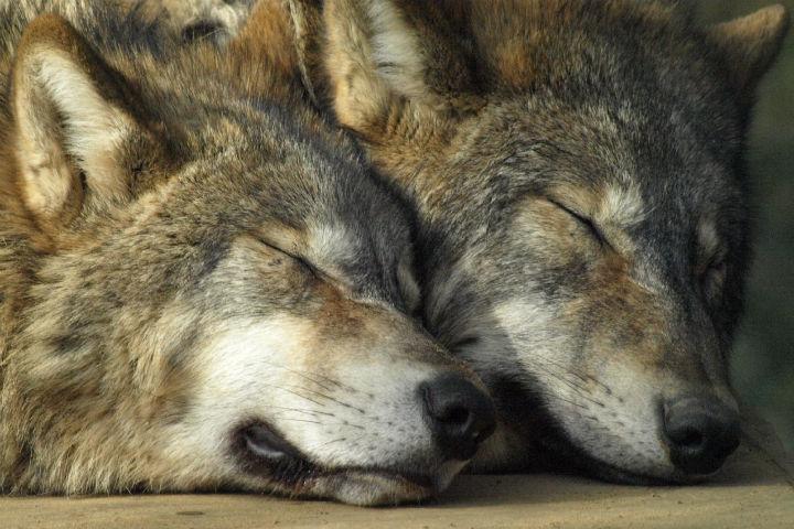 Волки (6).jpg